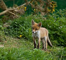Red Fox cub by Sue Robinson