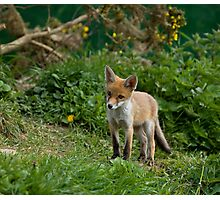 Red Fox cub Photographic Print