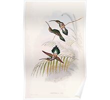 A monograph of the Trochilidæ or family of humming birds by John Gould 1861 V1 244 Phaethornis Guy Poster