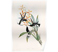 A monograph of the Trochilidæ or family of humming birds by John Gould 1861 V2 306 Florisuga Ater Poster