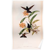 A monograph of the Trochilidæ or family of humming birds by John Gould 1861 V4 138 Poster