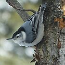 White breasted Nuthatch by Tracy Wazny