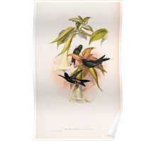 A monograph of the Trochilidæ or family of humming birds by John Gould 1861 V4 162 Poster