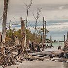 Driftwood and Stumps  by John  Kapusta