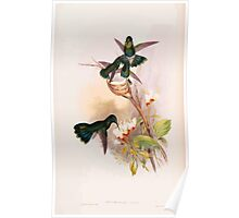 A monograph of the Trochilidæ or family of humming birds by John Gould 1861 V4 094 Poster