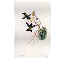 A monograph of the Trochilidæ or family of humming birds by John Gould 1861 V4 298 Poster