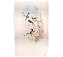 A monograph of the Trochilidæ or family of humming birds by John Gould 1861 V3 156 Thaumastura Cora Poster