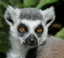 Watching You - Ring-tailed Lemur by Margaret Saheed