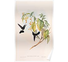 A monograph of the Trochilidæ or family of humming birds by John Gould 1861 V4 326 Poster