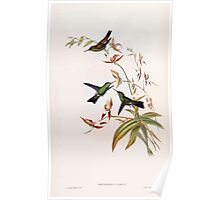 A monograph of the Trochilidæ or family of humming birds by John Gould 1861 V5 144 Poster