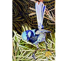 Superb Fairy Wren 2 Photographic Print