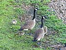 Family of Geese by FrankieCat