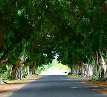 Fig Tree Avenue by Molly Taylor