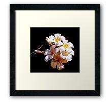 Franjipani ssp. blossoms, Kenya South Coast Framed Print