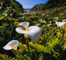Coastal California Lilies by George Oze