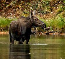 Female Moose at Fishercap Lake No. 1 by BelindaGreb