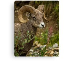 Ram Eating Fireweed cropped Canvas Print