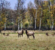 Cow Elks in a Field in Fall - Grand Tetons by BelindaGreb