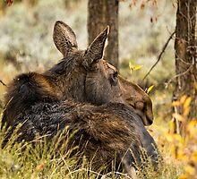 Waiting out the Rain - Moose - Grand Tetons by BelindaGreb