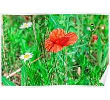 Matricaria and poppy Poster