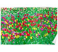 May tulips at the singing field  Poster