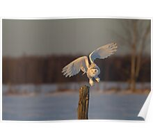 Snowy Owl taking off Poster