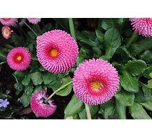 Pink Belis Photographic Print