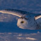 Snowy Owl flys at Sunset by Jim Cumming