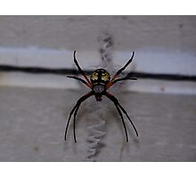 St. Andrews Cross Spider Photographic Print