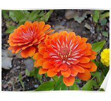 Orange Zinnia flowers Poster