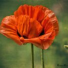 Poppy Red by KatMagic Photography