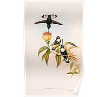 A monograph of the Trochilidæ or family of humming birds by John Gould 1861 V4 206 Poster