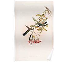 A monograph of the Trochilidæ or family of humming birds by John Gould 1861 V4 050 Poster