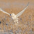 Snowy Owl 2016-1 by Thomas Young