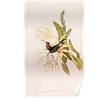A monograph of the Trochilidæ or family of humming birds by John Gould 1861 V4 214 Poster