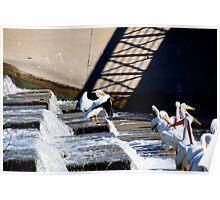 White Rock Lake Dallas Texas Pelicans on Spillway Poster