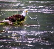 Eagle at the River - Haines, Alaska by Kathy Weaver