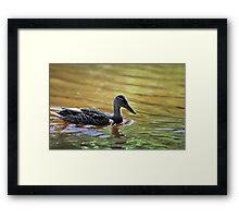 gadwall Framed Print
