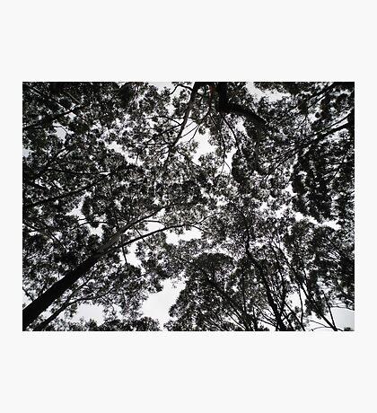 Eucalyptus, NSW, Australia Photographic Print