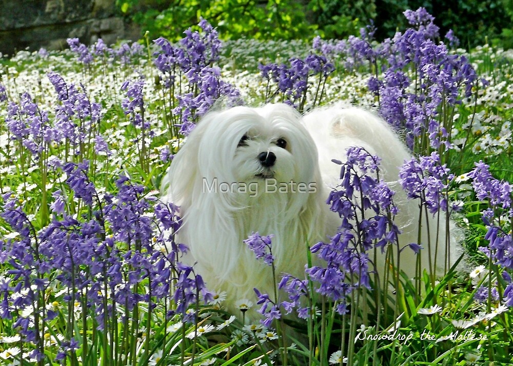 Snowdrop the Maltese -  in the Bluebell Woods by Morag Bates