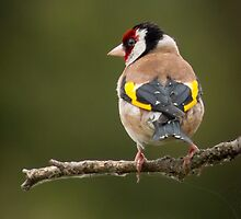 goldfinch bird perched in a tree by Sara Sadler