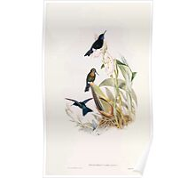 A monograph of the Trochilidæ or family of humming birds by John Gould 1861 V4 302 Poster