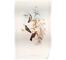 A monograph of the Trochilidæ or family of humming birds by John Gould 1861 V5 196 Poster