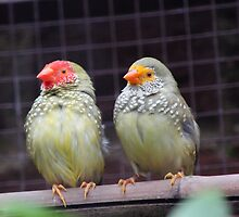 Star Finches by Vicki Spindler (VHS Photography)