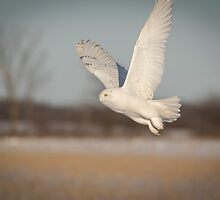 Snowy Owl 2016-2 by Thomas Young