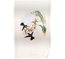 A monograph of the Trochilidæ or family of humming birds by John Gould 1861 V5 140 Poster