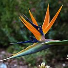 Bird of Paradise Leith Park Victoria 20151120 0736   by Fred Mitchell