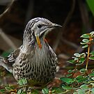 Yellow Wattle Bird by UncaDeej
