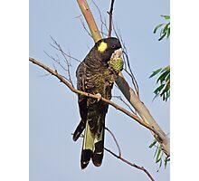 Yellow-tailed Black Cockatoo Photographic Print