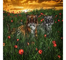 Tiger's In The Poppies  Photographic Print